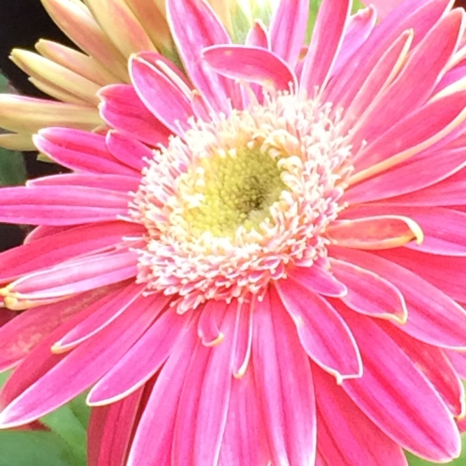 One of my favorite flowers:  Gerbera Daisies.  And I haven't killed them yet!